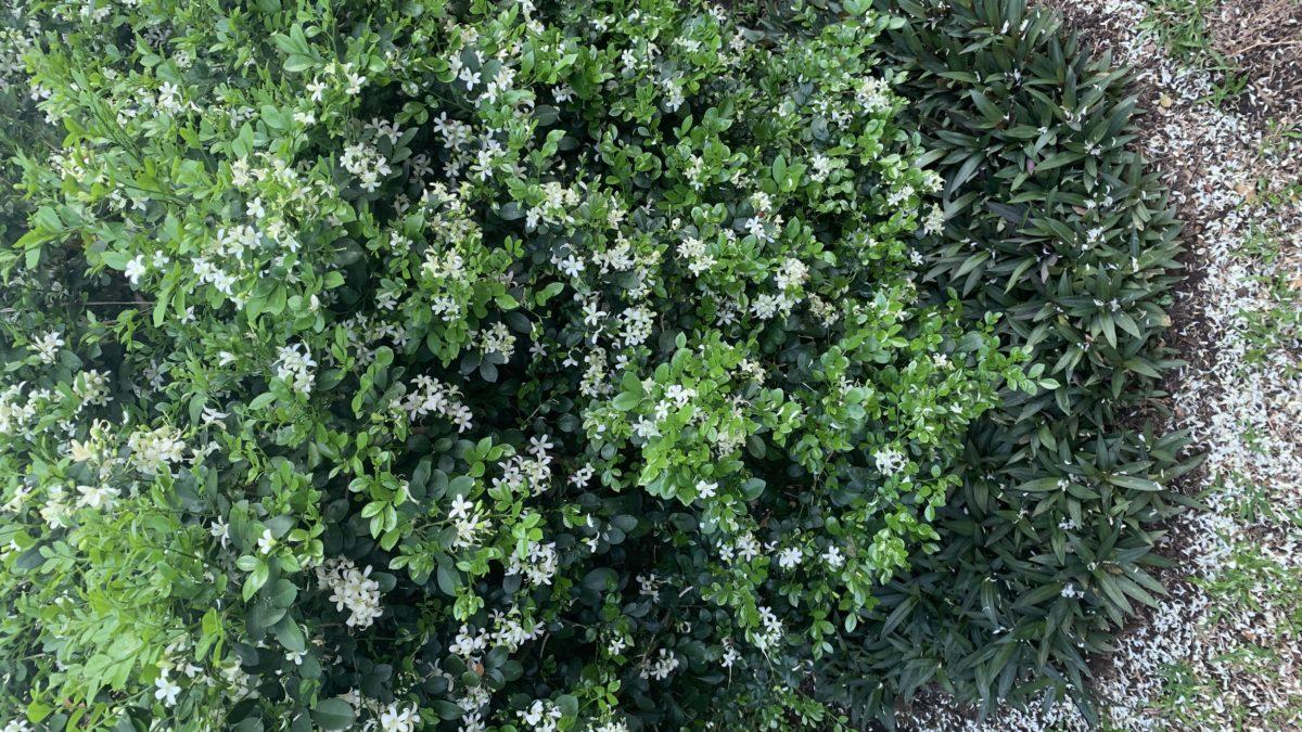 Como el pequeño arbusto